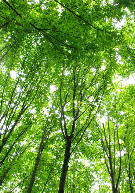 Lang skov